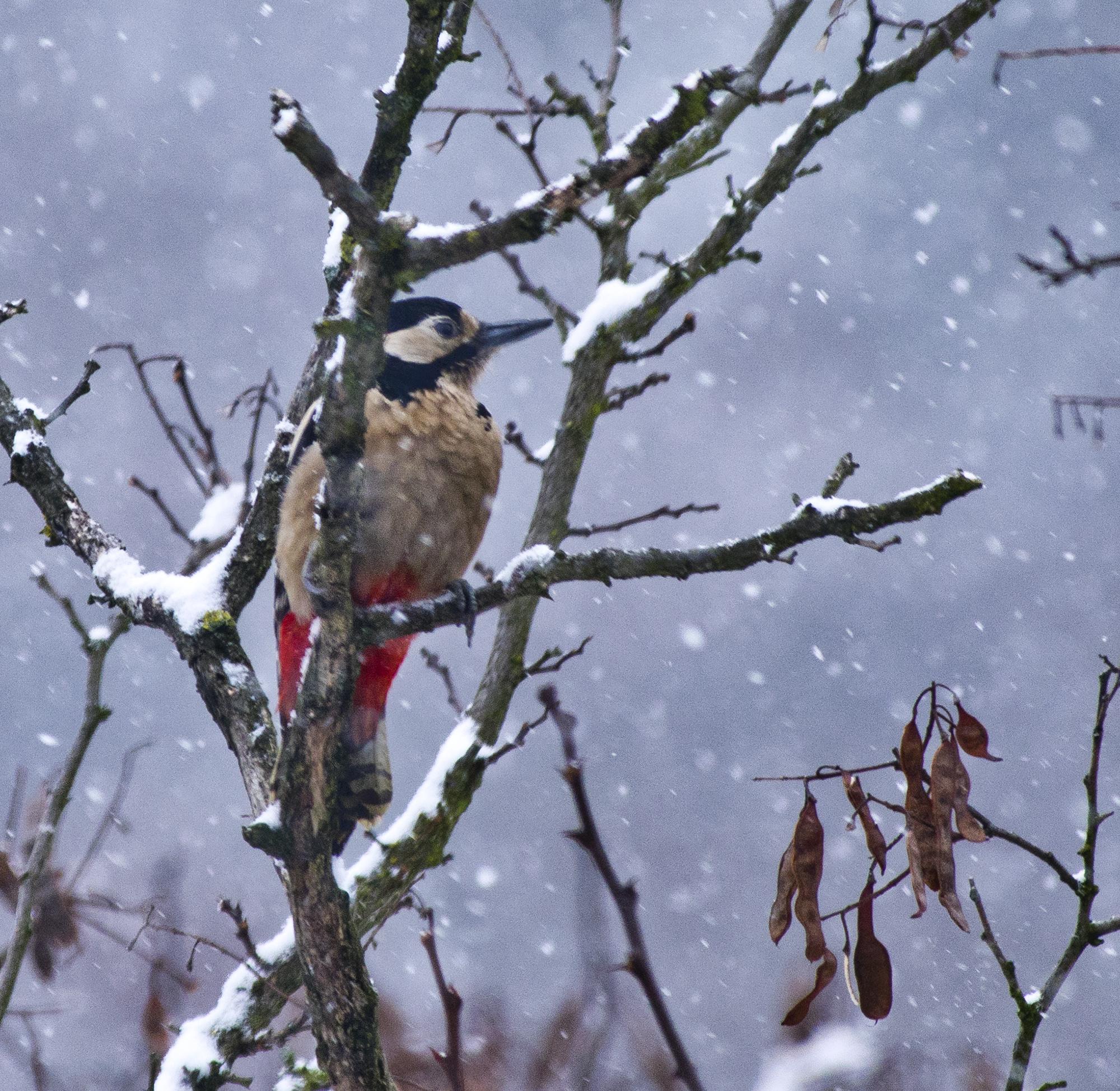 Specht im Schnee